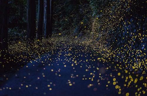 Fireflies1TS